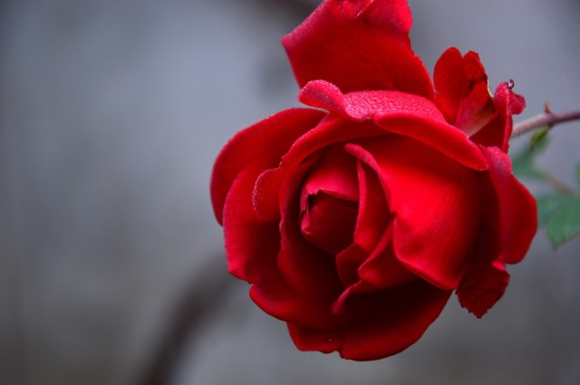 Miris ruže
