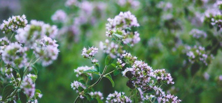 Čudesna moć divljeg origana: Zašto se ulje divljeg origana smatra najboljim prirodnim antibiotikom